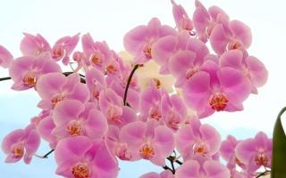 Фаленопсис: цветок, похожий на бабочку