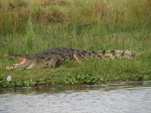 20 самых оригинальных подарков всех времен и народов - Живой крокодил