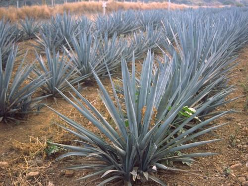 20 самых оригинальных подарков всех времен и народов - Плантация кактусов