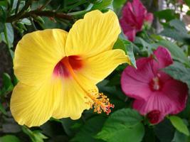 Гибискус – живописный и экзотичный